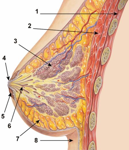 Schéma anatomique d'un sein.