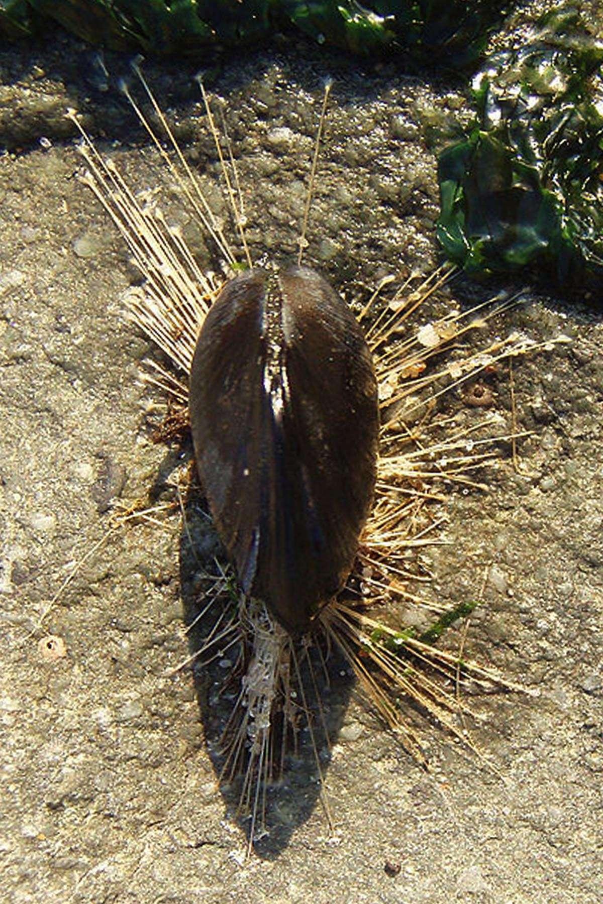 Une moule fixée à un rocher par de nombreux filaments, le byssus. © Mila-Zinkova-Wikipedia-CC-by-sa-30.jpg