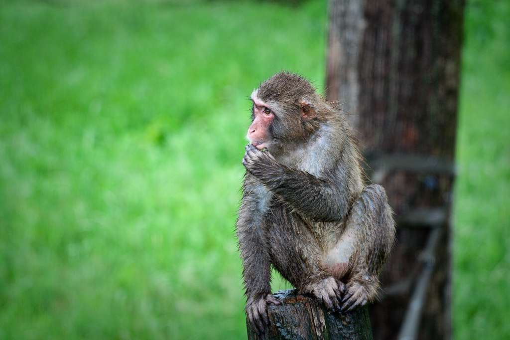 Les macaques japonais sont des primates de la famille des cercopithecidés. Ils exploitent les mêmes aires cérébrales que nous lorsqu'ils utilisent l'un de leurs doigts. En revanche, seul l'Homme a une maîtrise neurale propre de son gros orteil. © Éric Santerre, Flickr, cc by nc sa 2.0