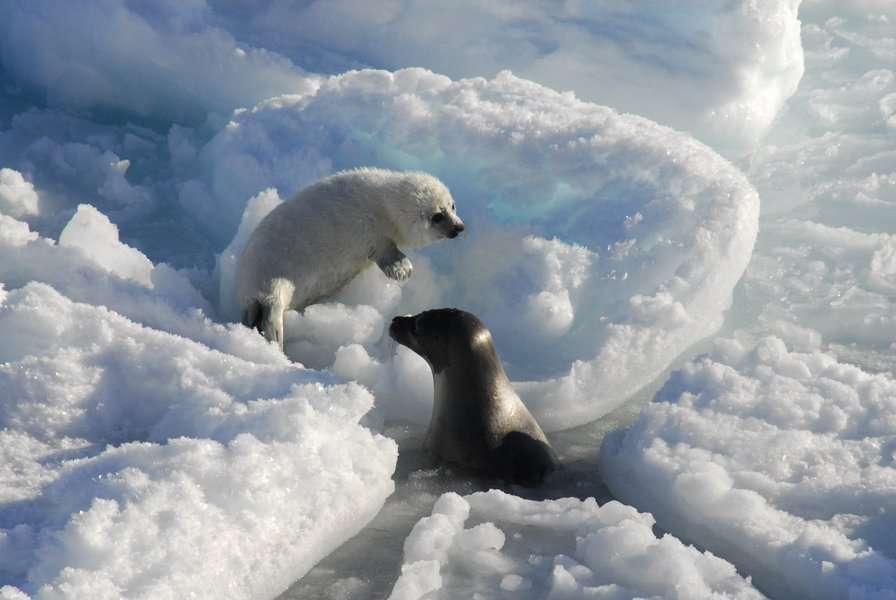 Pour son alimentation, l'ourse polaire (Ursus maritimus) délaisse de plus en plus le phoque annelé pour le phoque du Groenland (en blanc) et le phoque à capuchon, des espèces qui vivent plus près des zones industrialisées. Les ours polaires sont donc exposés à des concentrations plus élevées de contaminants. © Rune Dietz, Aarhus University