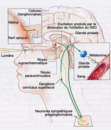 Le noyau paraventriculaire se situe dans le cerveau. © lecerveau-mcgill.ca