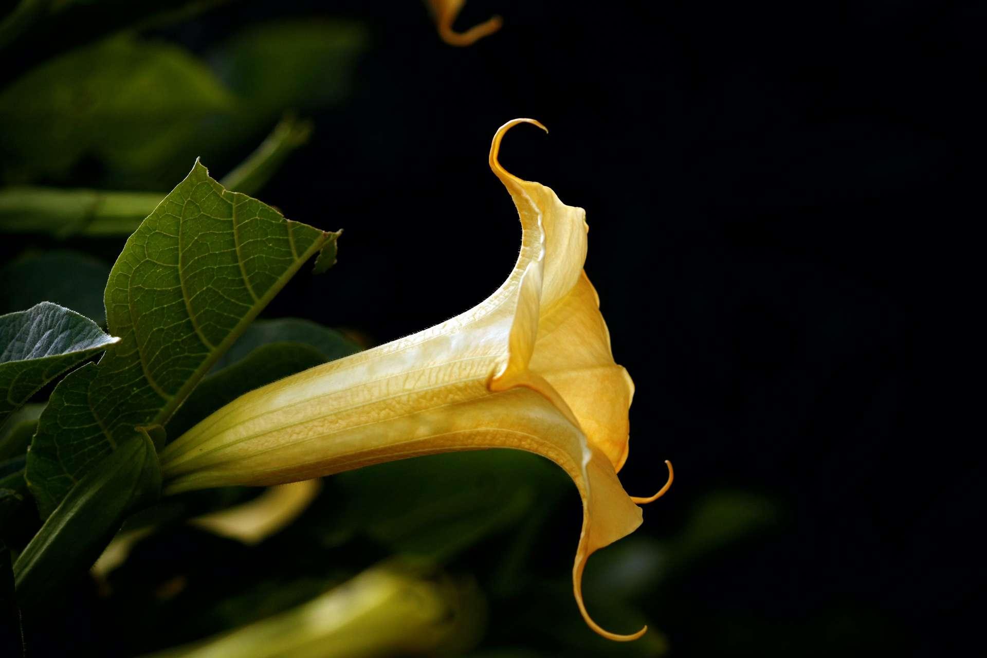 Une magnifique et dangereuse fleur de Burgmansia. © Mauro Rodrigues, Adobe Stock