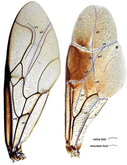 Dans leur article sur le pliage des ailes de certaines guêpes, les auteurs incluent un patron à imprimer, découper et plier pour aider les lecteurs à comprendre le système de pliage de l'aile. © Mikó et al., Plos One, 2014, cc by 4.0