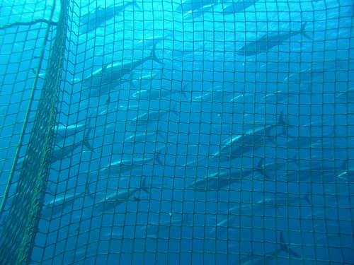 La pêche au thon rouge bientôt interdite ? C'est ce que souhaite la France. © Tom Puchner CC by-nc-nd