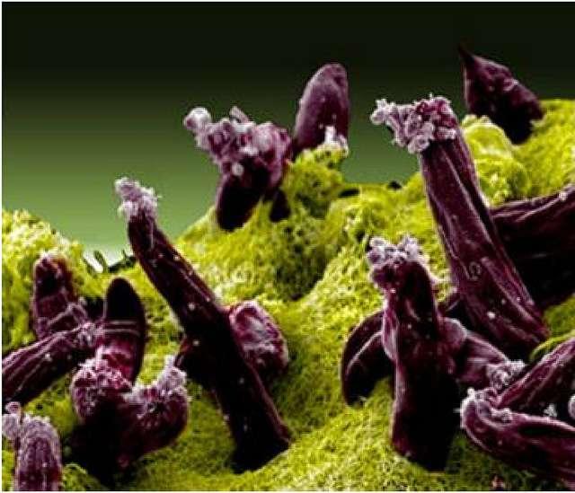 Les Plasmodium sont les parasites du paludisme. Il en existe plusieurs espèces. Sur cette Image on peut apercevoir quelques spécimens de l'espèce P. gallinaceum (en violet) présents à l'intérieur de l'intestin d'un moustique. © NIAID, Flickr, cc by 2.0