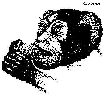 Regardez bien ce visage : il y a 40 millions d'années, Amphipitecus vivait dans ce qui est aujourd'hui l'Asie du sud-est et pourrait bien ressembler aux grands-parents de nos grands-parents...(Université d'Iowa)