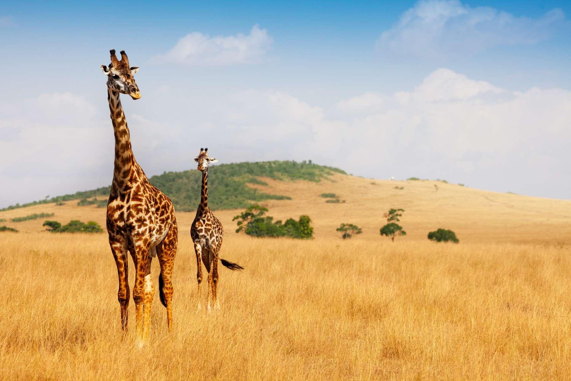 Chez les girafes mâles, la taille maximale serait de 5,80 mètres. Tandis qu'elle atteint 4,60 mètres chez les femelles. © Sergey Novikov, Adobe Stock
