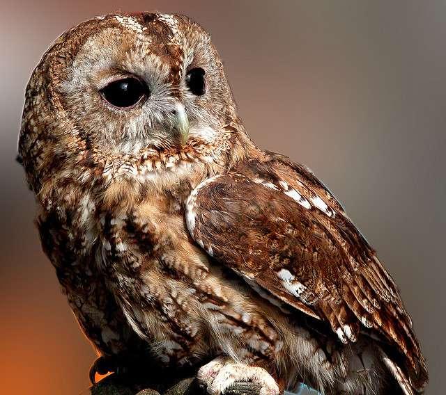 Les grands yeux des chouettes et hiboux sont adaptés à un mode de vie nocturne. © giopuo CC by-sa 2.0