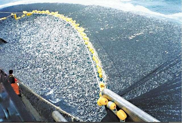 La surpêche menace les populations de poissons fourrage mais aussi celles des espèces qui s'en nourrissent comme le saumon, le thon ou les baleines. Ici : 400 tonnes de chinchard du Chili (Trachurus murphyi) pêchées par un senneur chilien. © C. Ortiz Rojas, Wikimedia Commons, DP
