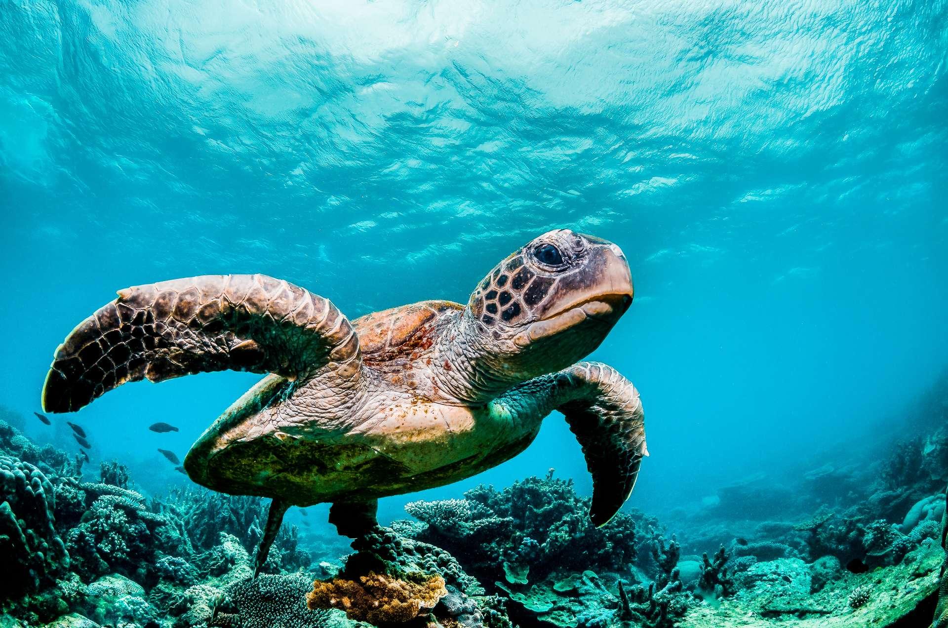 Certains animaux, comme les tortues de mer, ont un sixième sens magnétique. © Aaron, Adobe Stock