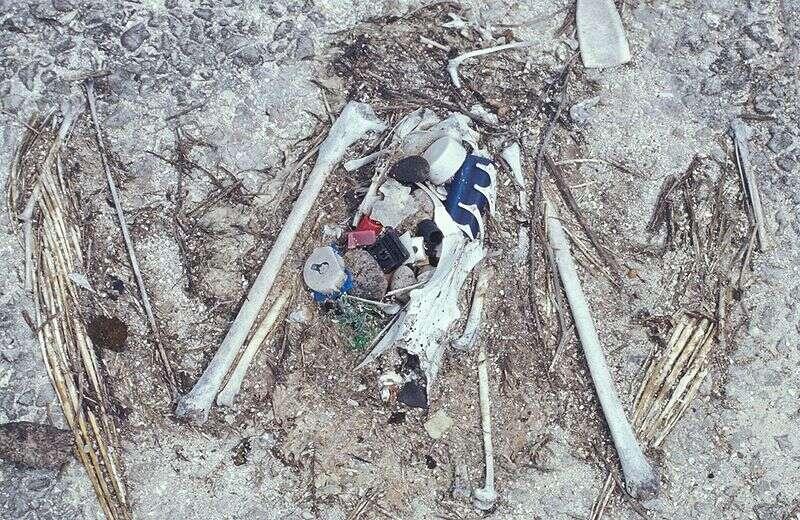 Les os d'un poussin d'un albatros de Laysan et les restes de matières plastiques qu'il avait ingérés. La photo a été prise à Eastern Island, dans les îles Midway, le 5 avril 1999. © Forest et Kim Starr, USGS