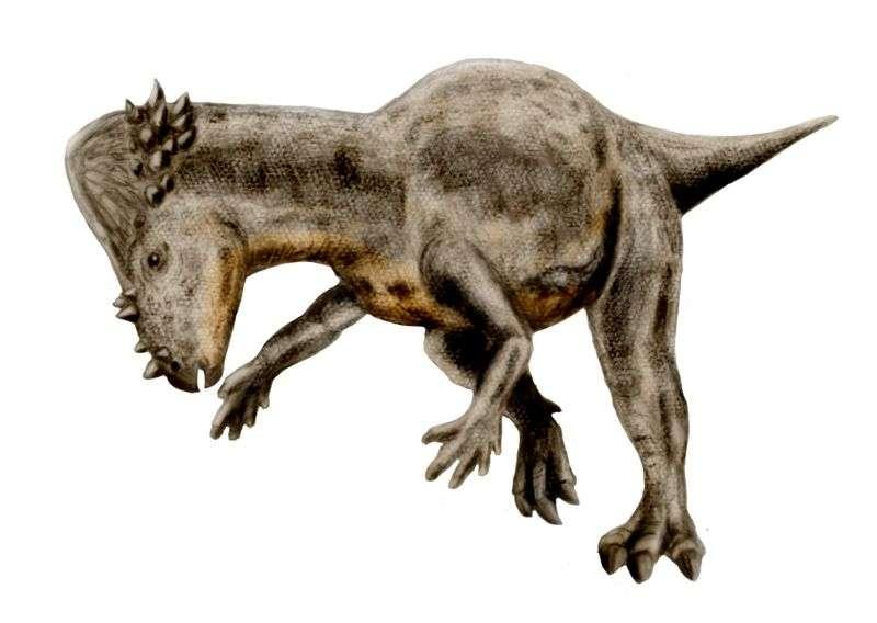 Les Pachycephalosaurus se servaient peut-être de leur tête pour les combats entre mâles, pas forcément en s'affrontant en face à face comme les buffles d'aujourd'hui, mais sur le côté, un peu comme les girafes. © Nobu Tamura, Wikipédia, cc by sa 3.0