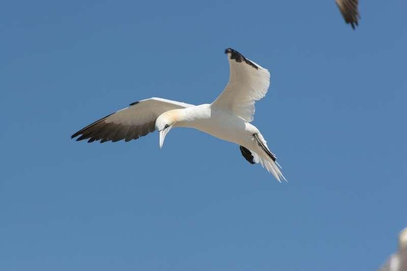 Ce grand oiseau se nourrit exclusivement de poisson, qu'il va pêcher en fonçant en piqué pour plonger jusqu'à plusieurs mètres. © LPO (Station de l'Ile-Grande)