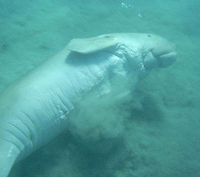 Les dugongs vivent en eaux peu profondes, et sont très vulnérables à la dégradation des milieux côtiers. © Alberto Scarani, GNU FDL version 1.2