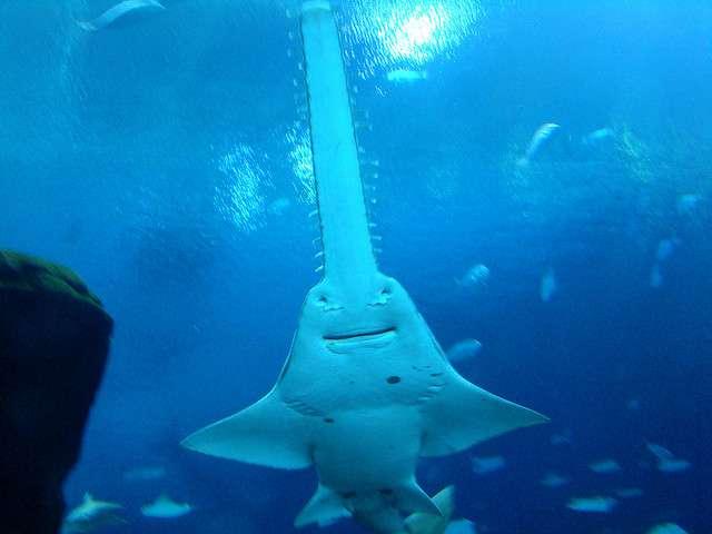Comme les requins, les poissons-scie sont des chondrichtyens et possèdent donc un squelette cartilagineux. Les membres de ces deux groupes sont sensibles aux champs électriques. © istolethetv, Flickr, cc by 2.0