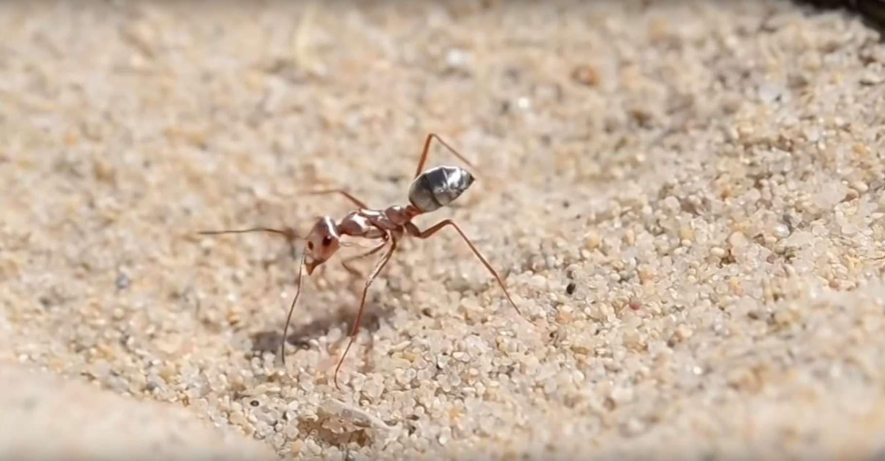 Des chercheurs ont mesuré la vitesse de course des fourmis argentées sahariennes. Ce sont les fourmis les plus rapides du monde. © Philtheanimalfriend, YouTube