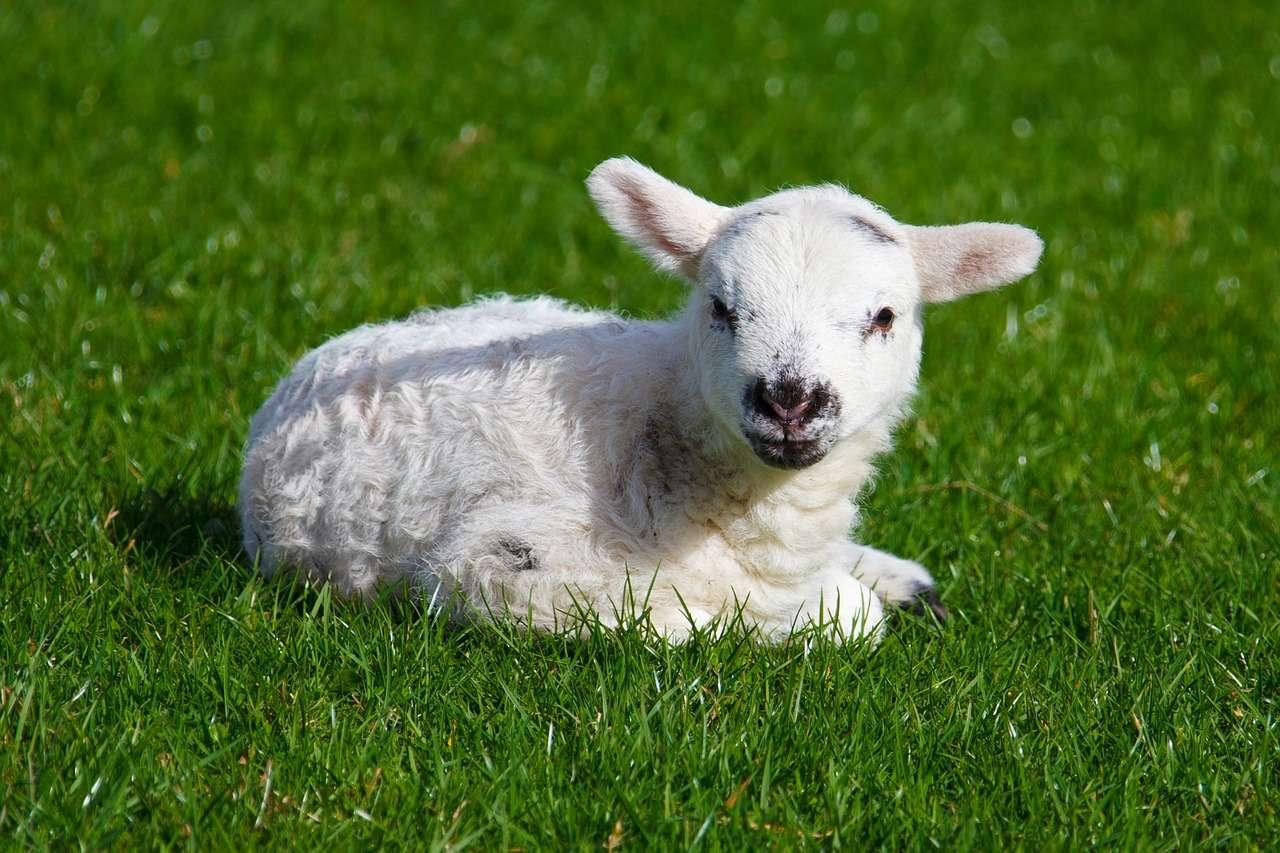 Une équipe uruguayenne a réussi à créer des moutons fluorescents en leur insérant un gène de méduse codant pour une protéine fluorescente. © PublicDomainPictures, Pixabay, DP