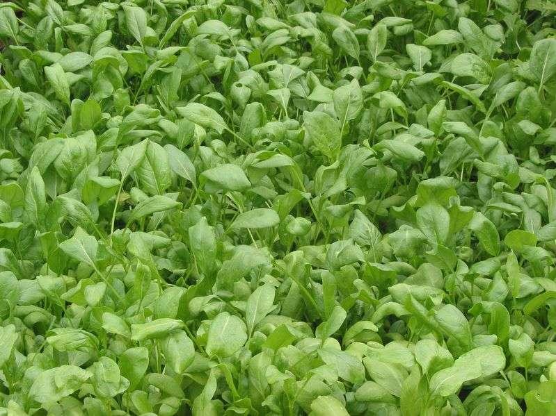 Les légumes verts à feuilles (épinards, salade, chou vert, etc.) contiennent de la zéaxanthine, un pigment caroténoïde protecteur pour l'œil. © Rasbak, Wikimedia Commons, cc by sa 3.0