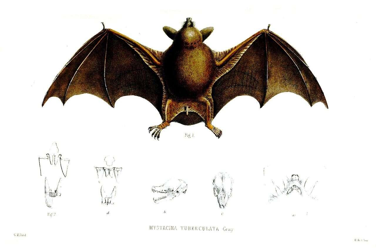 Les deux espèces contemporaines de chauves-souris de Nouvelle-Zélande sont fouisseuses : tout en repliant leurs ailes, ces mammifères cherchent de la nourriture sous les débris forestiers. © GH Ford, Wikimedia Commons, domaine public