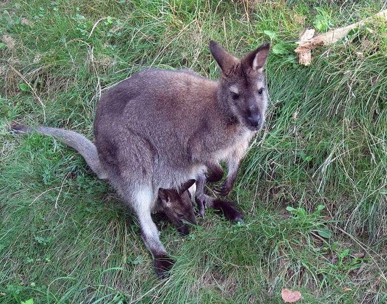 Le wallaby à cou rouge, ou wallaby de Bennett, est le plus représenté des wallabies dans les parcs zoologiques. © Dezidor, Wikipédia, cc by 3.0