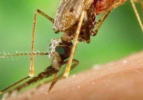 Moustique anophèle en plein repas. Source Commons