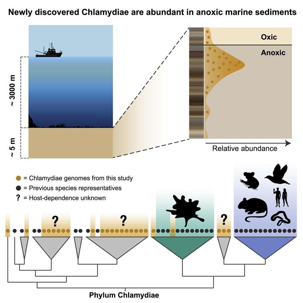 Des dizaines de nouvelles espèces de chlamydiae ont été découvertes au fond de l'océan Arctique, dans des zones totalement dépourvues d'oxygène. Elles appartiennent à des lignées différentes de la chlamydia infectieuse. © Jennah Dharamshi et al, Current Biology