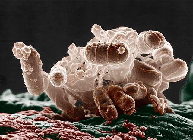 Escherichia coli, une bactérie intestinale présente chez les mammifères, au microscope électronique. Selon la théorie de l'hologénomique, les micro-organismes participent à l'évolution de l'hôte qu'ils colonisent. © Microbe World, Flickr, cc by nc sa 2.0