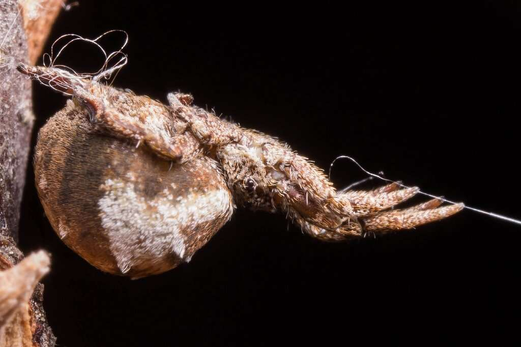 L'araignée Hyptiotes cavatus utilise sa toile comme catapulte pour attraper ses proies. Elle s'accroche avec ses pattes arrière pour tirer avec ses pattes avant sur un fil attaché à sa toile. © Sarah Han, University of Akron