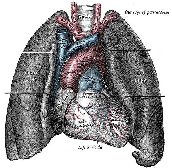 Schéma des poumons. © Gray's Anatomy, domaine public