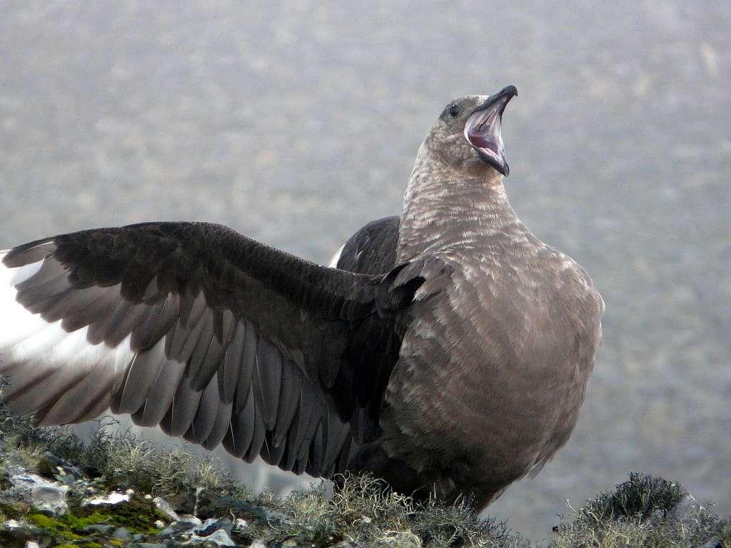 Skua antarctique (Catharacta maccormicki) en posture de défense de son territoire de reproduction. La contamination par le mercure affecte la fécondité de cet oiseau marin. © benontherun.com, Flickr, cc by nc sa 2.0