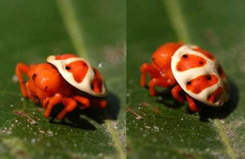 L'araignée-tortue orange porte bien son surnom. © ollgaard, Archnoboards