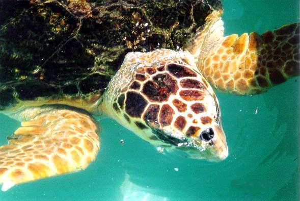 La tortue caouanne a disparu des espèces reproductrices en France depuis le début du siècle. En Méditerranée, la survie de l'espèce dépend de la protection des sites de nidification de la zone orientale. Les côtes israéliennes comptent parmi les plus importantes zones. © U.S. National Park Service, DP