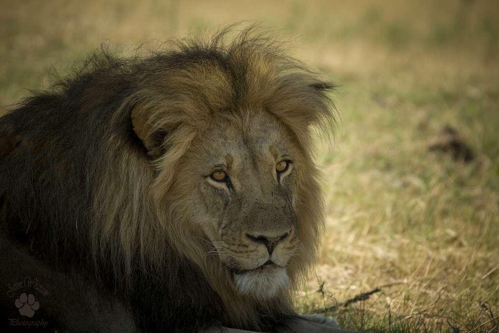 Les lions d'Afrique de l'Ouest sont moins trapus que leurs congénères de l'est et du sud, leur crinière est d'ailleurs moins fournie. Autre différence, ils forment de petits groupes composés d'un mâle et d'une ou deux femelles avec leurs jeunes. Au Kenya, par exemple, ces félins forment des groupes pouvant accueillir une quarantaine d'individus. © Jason Wharam, Flickr, cc by nd 2.0