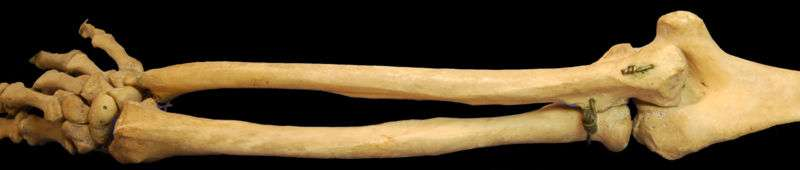 L'ulna est l'os situé au-dessus, l'autre étant le radius. © DR