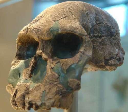 Un crâne d'Homo habilis. © Charles Fred (Museum d'Histoire Naturelle de Paris)