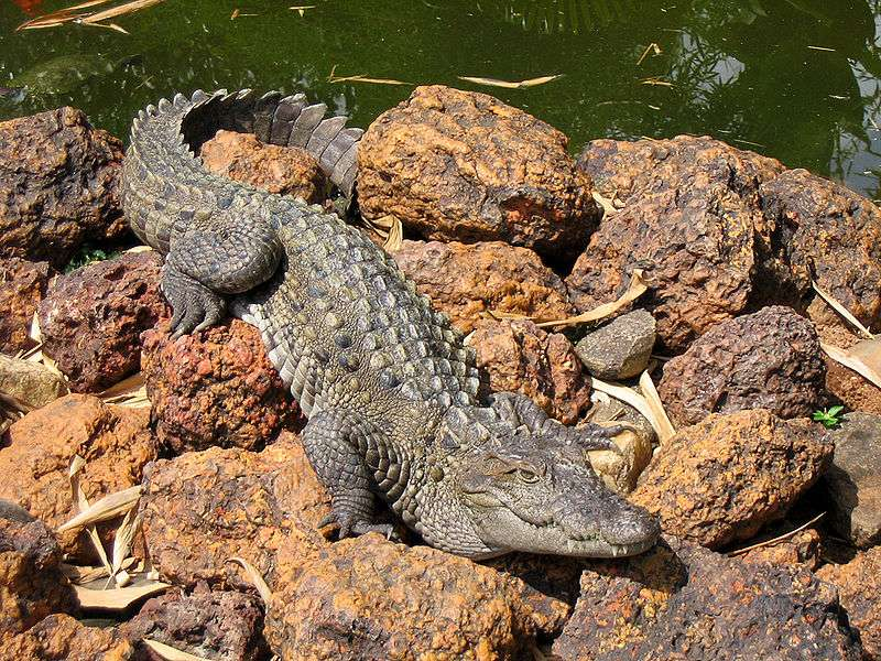 Photo d'un crocodile des marais. © Karunakar Rayker, CC by-SA 2.0
