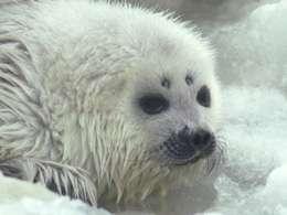 Le phoque marbré est un tout petit phoque, de 40 à 90 kilogrammes à l'âge adulte, vivant dans tout l'Arctique, jusqu'en Alaska. © WWF / Ivar Jussi