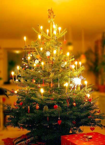 Le sapin de Nordmann est un grand arbre, au tronc droit et aux branches basses très étalées, pouvant atteindre plus de 60 m de haut à l'état naturel. Le diamètre de son tronc peut avoisiner deux mètres. C'est un sapin aux aiguilles vert foncé brillantes, très longues. Ce sapin a comme particularité, une fois coupé, de garder ses aiguilles très longtemps. Son écorce est gris-brun et lisse. Elle se ride sur les arbres âgés. © Malene Thyssen, GFDL 1.2