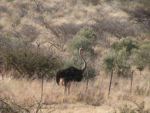 Une autruche dans son habitat naturel. © ecololo CC by-nc-sa