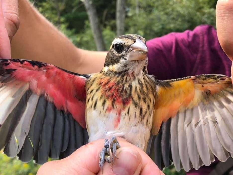 Ce cardinal à poitrine rose présente chacune des deux couleurs distinctes des deux sexes. Son côté droit s'affiche mâle, pendant que son côté gauche a des caractéristiques femelles. © Annie Lindsay, Carnegie Museum of Natural History
