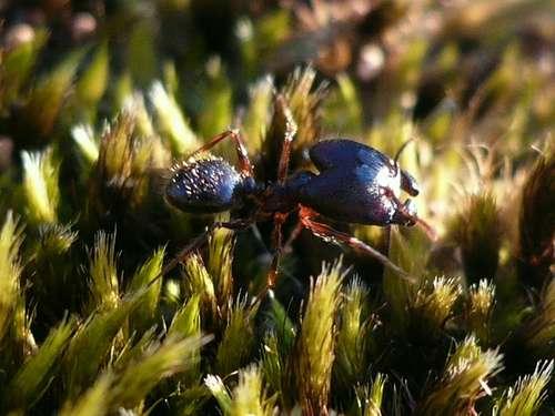 Une fourmi de la caste des soldats possède une tête plus grosse et des pièces buccales plus développées. © garynature, Flickr, cc by 2.0