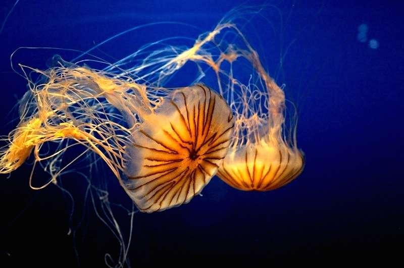 Parmi les ouvrages d'auteurs de Futura-Sciences, découvrez celui sur les étonnantes méduses. © CC by sa