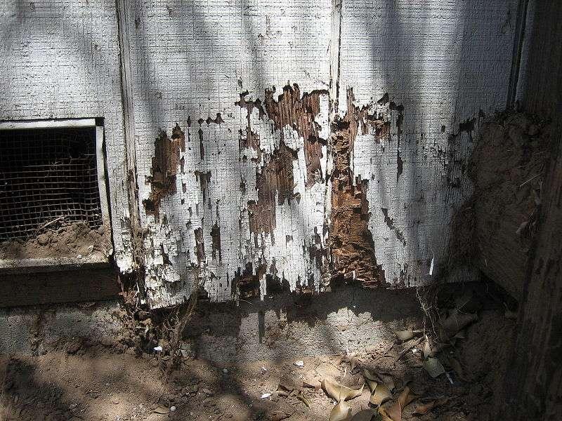 Les termites se nourrissent du bois et peuvent causer de terribles dommages. Ces insectes se développent plutôt en milieu tropical, mais leur répartition urbaine en Europe et en France s'est élargie. Ils sont aujourd'hui installés dans de nombreuses villes françaises, notamment dans le nord de la Loire. © Alton, Wikipédia, cc GNU