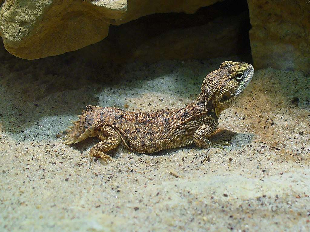 Un agama à queue-bouclier. © H. Zell, Wikimédia Commons, CC by-sa 3.0
