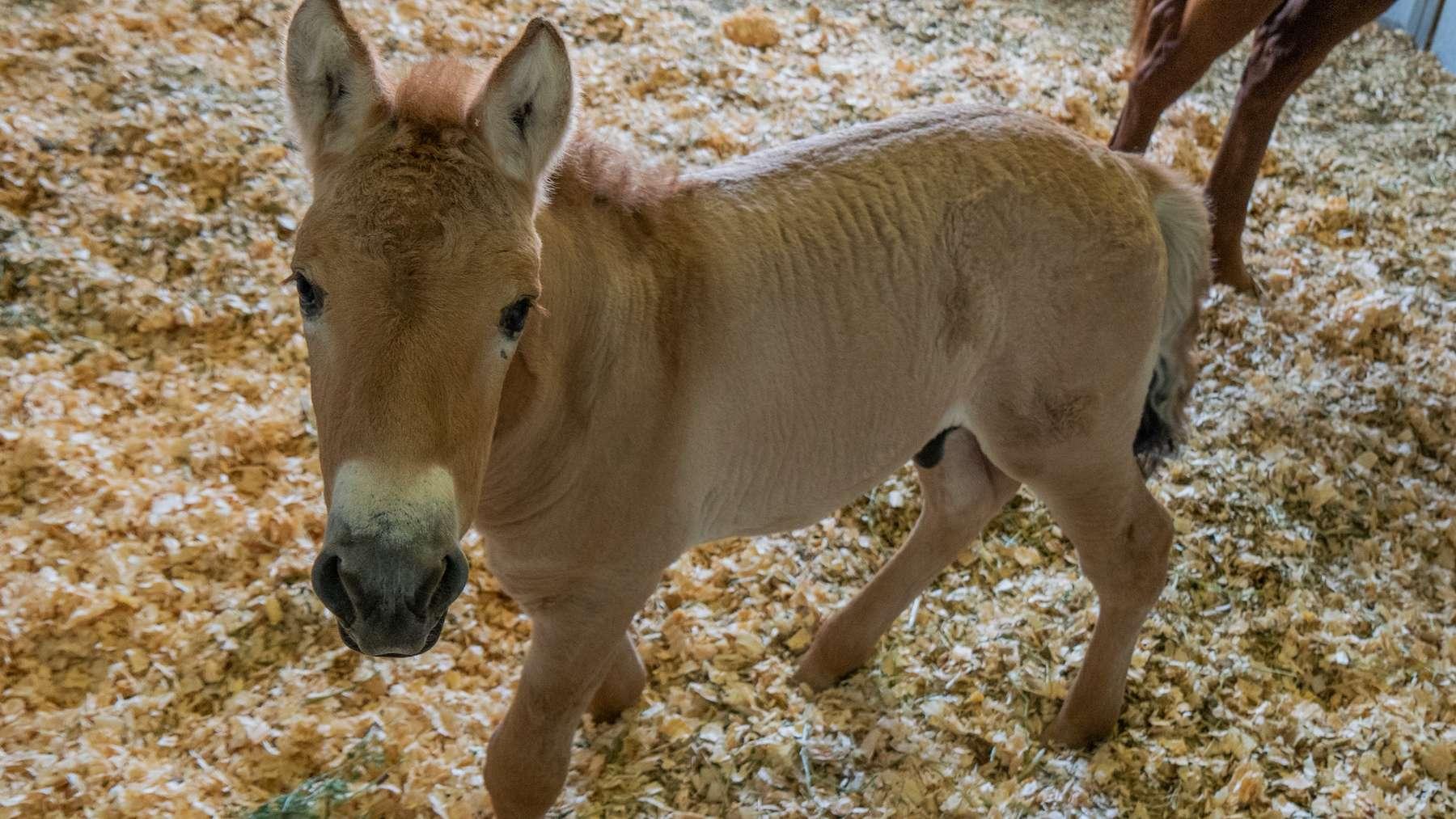 Kurt est l'un des derniers représentants 100 % sauvage du cheval de Przewalski. © Scott Stine