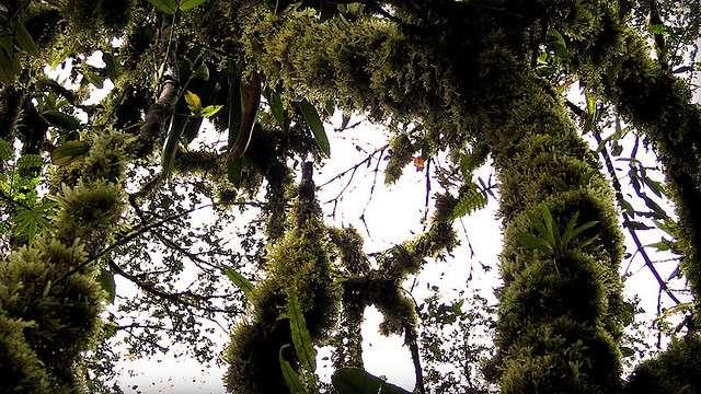 La richesse des mousses et des fougères épiphytes témoigne du caractère ombrophile de cette forêt tropicale du Costa Rica. © Dimitri dF CC by-nc-nd 2.0