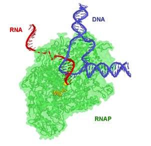 Les ARN polymérases synthétisent des brins d'ARN (en rouge), le plus souvent à partir d'ADN (en bleu). © Abbondanzieri, Wikimedia, domaine public