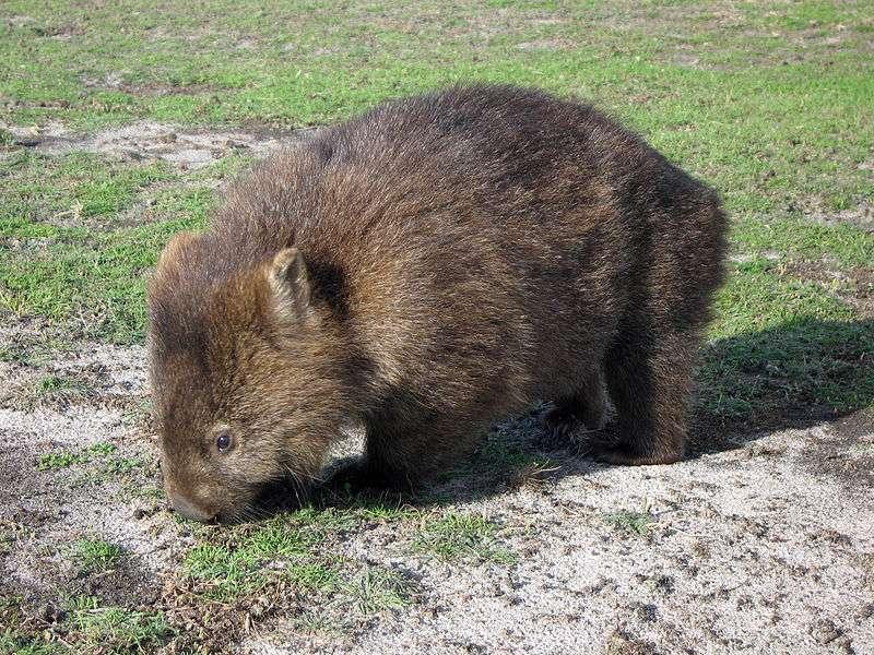 Le wombat ressemble à un ourson en peluche. © GregTheBusker, Wikipédia, cc by 2.0