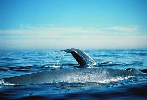 Le chant des baleines bleues est encore incompris. © NOAA, domaine public