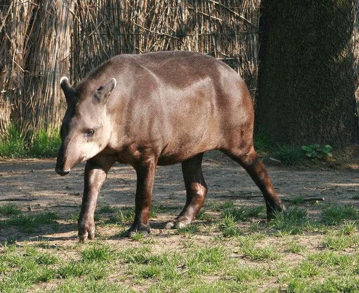 Tapir du Brésil au zoo de Prague. © Karelj, Wikipédia, DP